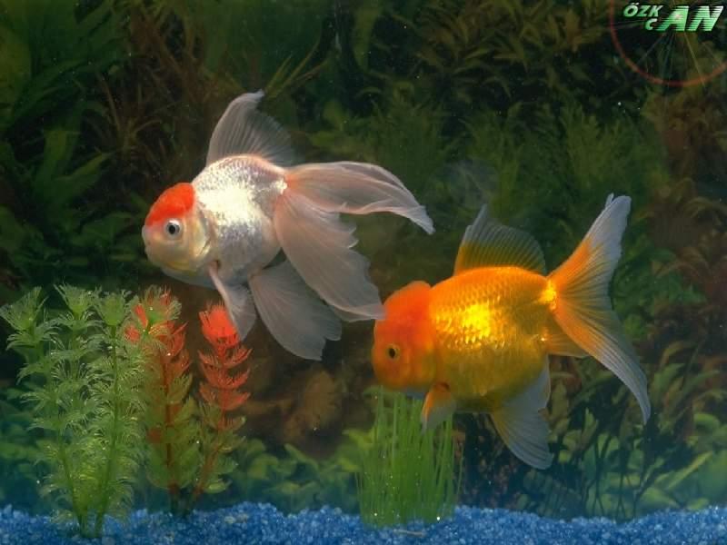 japon balıkları hakkında