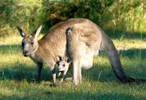 kangurular yaşam döngüsü