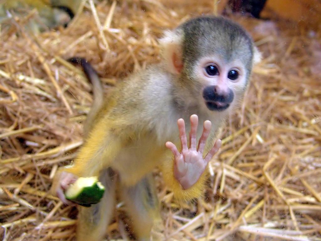 maymun şebek hakkında bilgi