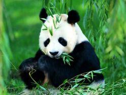 panda hakkında bilgiler