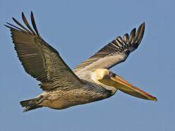 pelikan resimleri hakkında
