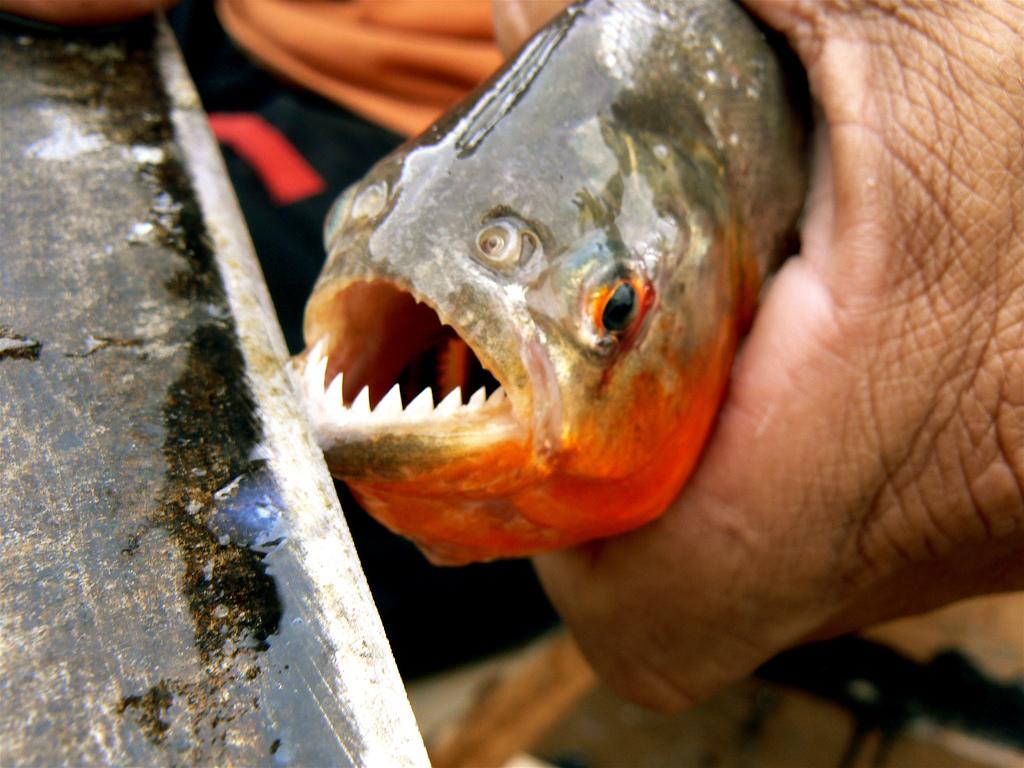 pirana,piranha hakkında bilgiler