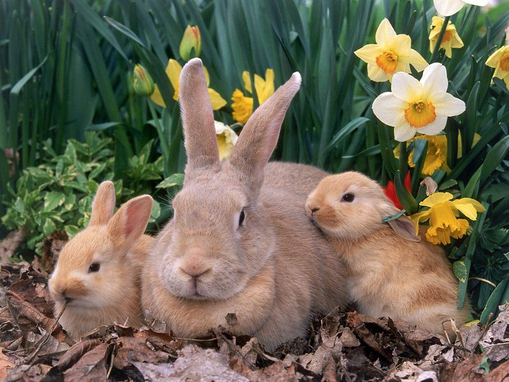 tavşan hakkında bilgiler