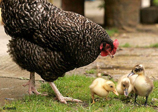 tavuklar hakkında