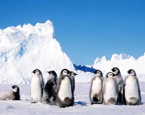 Crías de pingüinos Emperador en un iceberg de la Antártida
