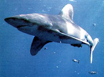 Los tiburones se reproducen igual desde hace 400 millones de años