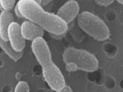 El microbio Herminiimonas glaciei sobrevivió 120.000 años bajo el hielo de Groenlandia