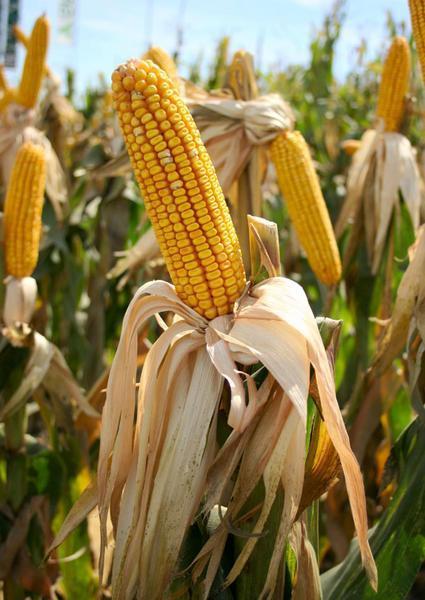Una investigación española logra desarrollar maíz transgénico con altas cantidades de vitaminas