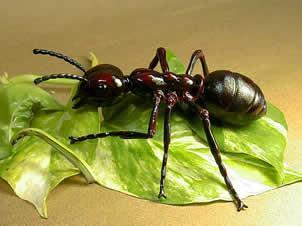 Hasta ahora se han descubierto y nombrado 9 500 especies de hormigas aproximadamente. Los mirmecólogos (científicos que estudian las hormigas) estiman que existen alrededor de 20 000 especies en total