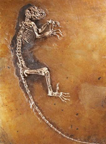 Esqueleto fósil de 47 millones de años, bautizado Ida, presentado en el Museo de Historia Natural de Nueva York