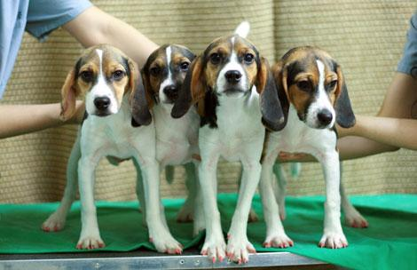 Las cuatro hembras clónicas de beagle, cuyas uñas se ven de color rojo incluso bajo una luz normal