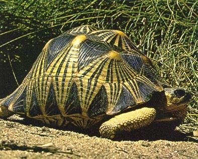 La tortuga radiada de Madagascar es una de las más bonitas del mundo por los adornos geométricos de su caparazón.  De un tamaño medio de 50 cm., puede pesar hasta 16 kg. y puede vivir más de 150 años.