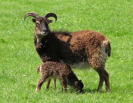 Las jóvenes ovejas Soay pesan menos que sus predecesoras