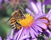 Apis mellifera extrayendo néctar