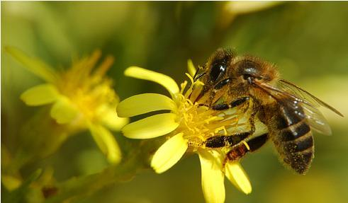 """Einstein ya anunció """"Si la abeja desapareciera del planeta, al hombre solo le quedarían 4 años de vida"""""""