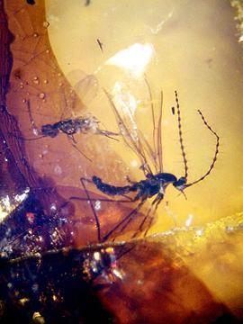 """Ámbar con insectos del Cretácico desconocidos hasta ahora y con un estado de conservación """"excelente"""" en el entorno de la cueva de El Soplao"""