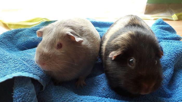 Leihmeerschweinchen Aurin mit Käthe