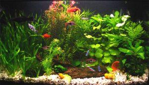 Peces tropicales de agua dulce las clases de peces y sus for Acuario comunitario