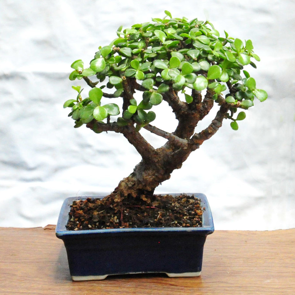 Bonsai portulacaria 24cms altura 5 a os de edad facil for Bonsai costo