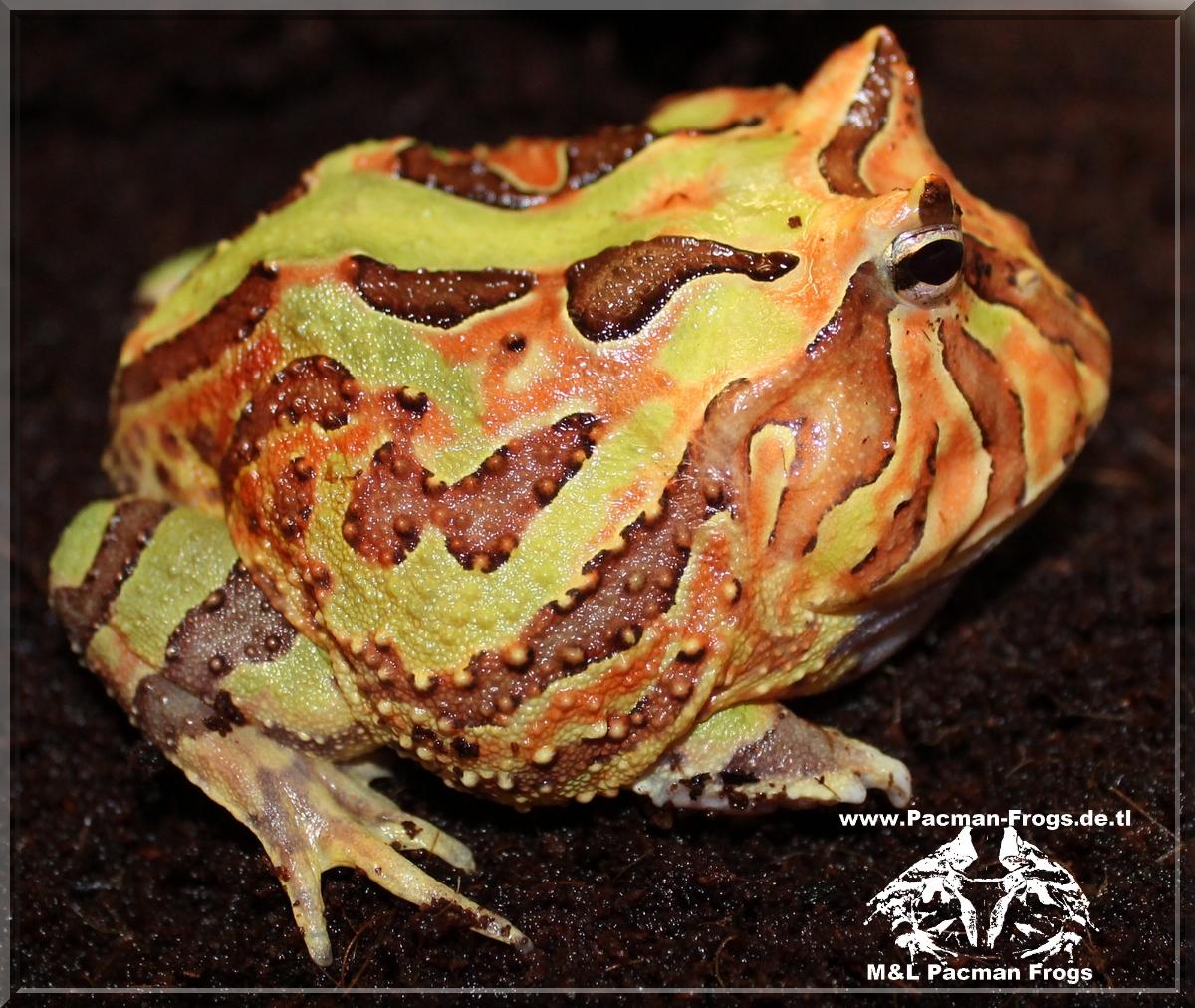 Fantasy Pacman Frog - cranwelli X cornuta