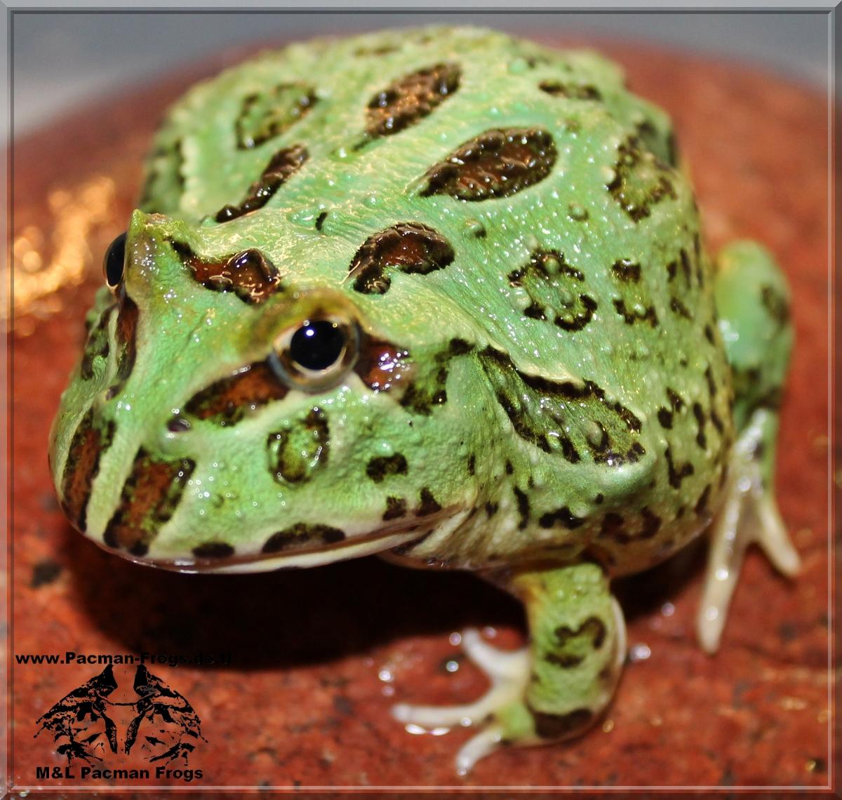 Schmuckhornfrosch, Chaco Hornfrosch, Ceratophrys cranwelli