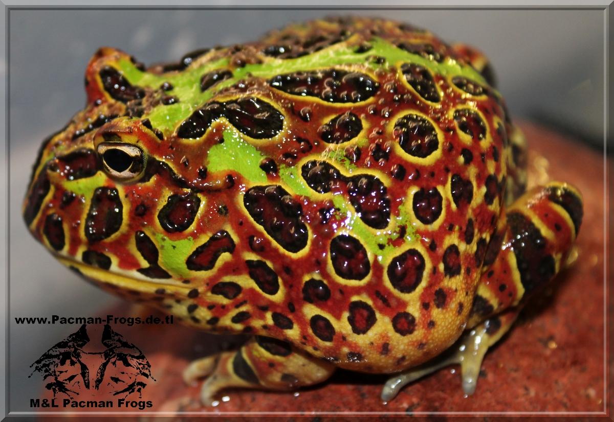 Horned Frog, Pacman Frog, Hornfrosch, Schmuckhornfrosch