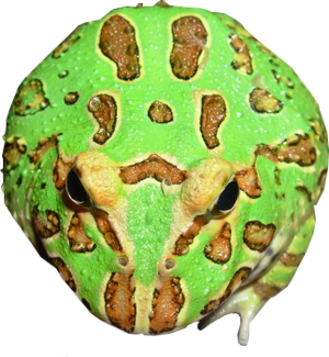 Ceratophrys cranwelli