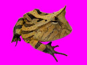 Horned Frog - Ceratophrys cornuta