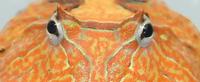 Orange-Phase-Cornuta