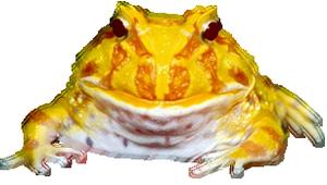 Zucht, Züchter, Hornfrosch, Schmuckhornfrosch, Ceratophrys