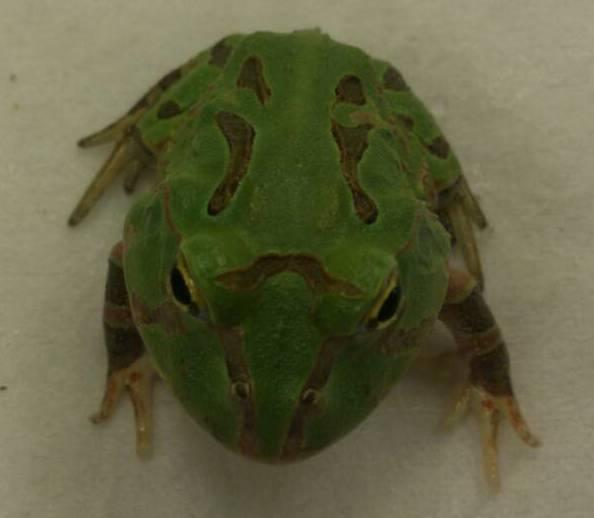 Hornfrösche C. stolzmanni