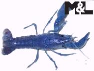 M&L Wirbellose - Zucht von Procambarus clarkii
