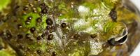 Ceratophrys aurita X Ceratophrys cornuta