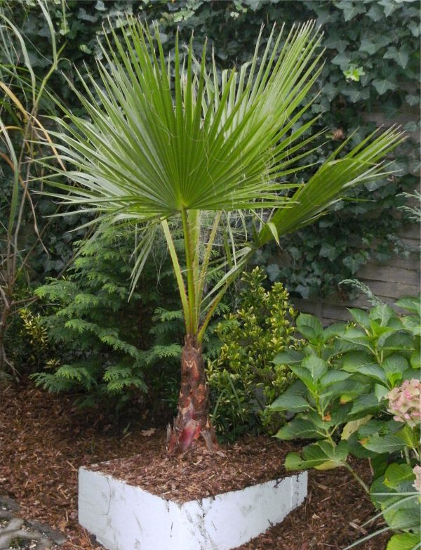 dean martinas palmengarten washingtonia robusta. Black Bedroom Furniture Sets. Home Design Ideas
