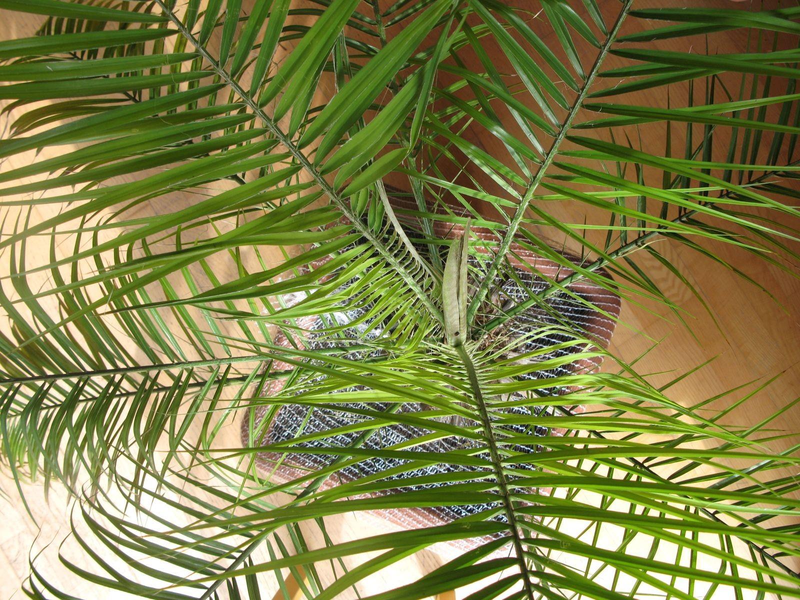 palmen s mlinge jungpflanzen palmenarten. Black Bedroom Furniture Sets. Home Design Ideas