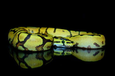 YellowBelly Spider Phantom het. Pied