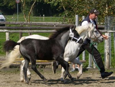 Hans Schneeberger aus Glonn mit seinen Welsh-A-Ponys!