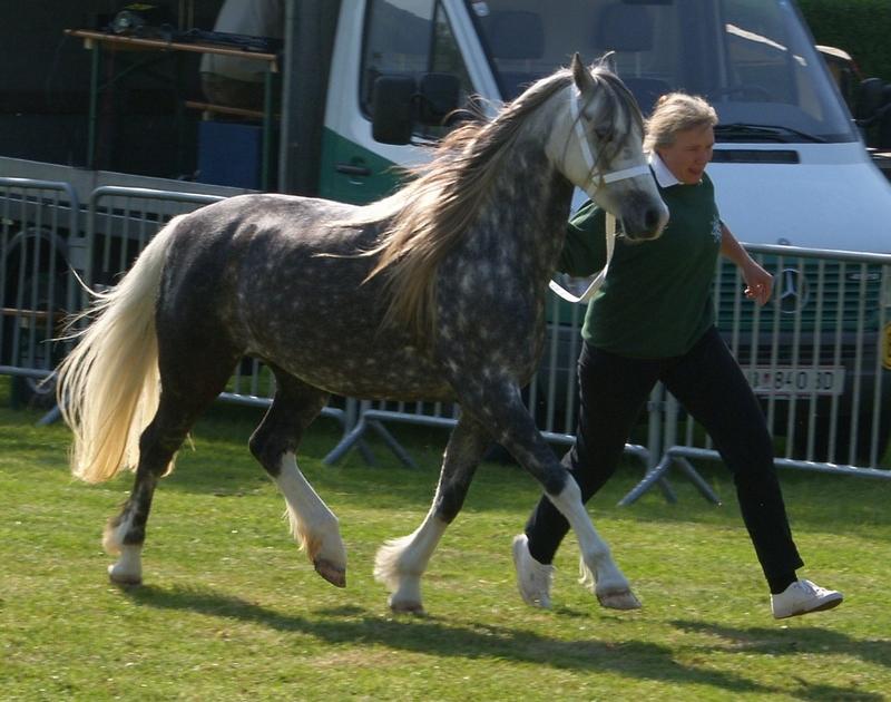 Welsh-Stute Moorkiekers Heatherbell, Besitzerin Carina Huttner