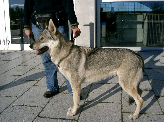 Tschech Wolfhund
