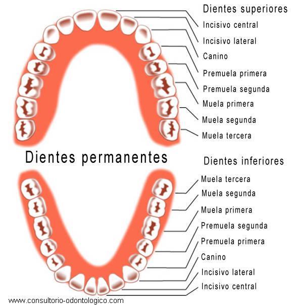 Estructura de cada diente y muelas