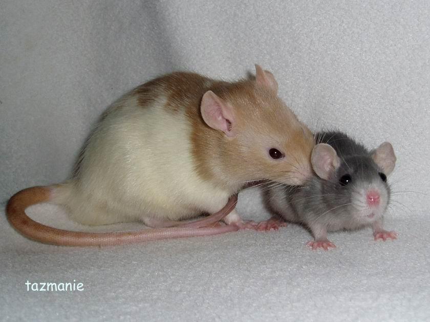 https://img.webme.com/pic/r/rasseratten/dwarf_rat10.jpg
