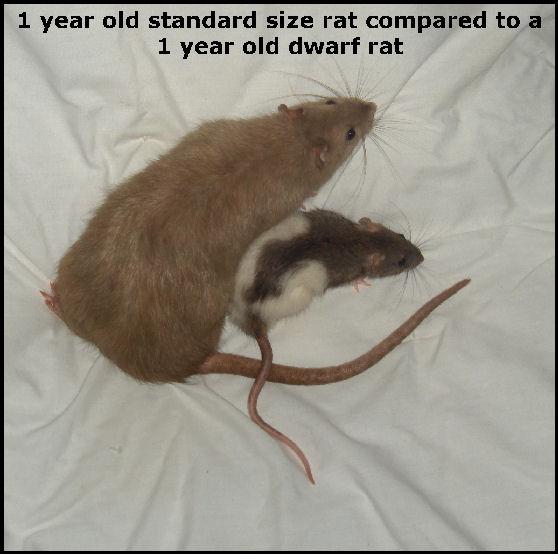 https://img.webme.com/pic/r/rasseratten/dwarfandstandard.jpg