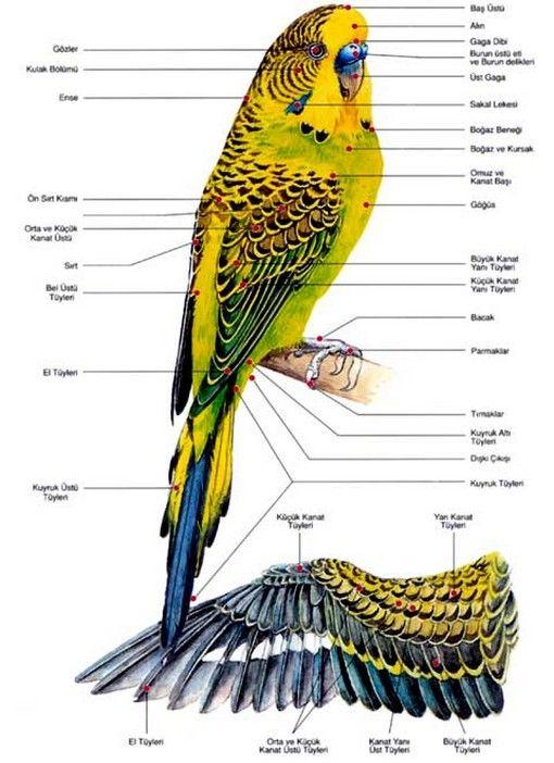 Salihli Muhabbet Kuşu