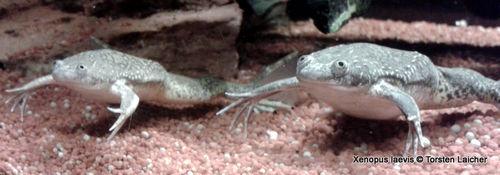 Afrikanischer Krallenfrosch