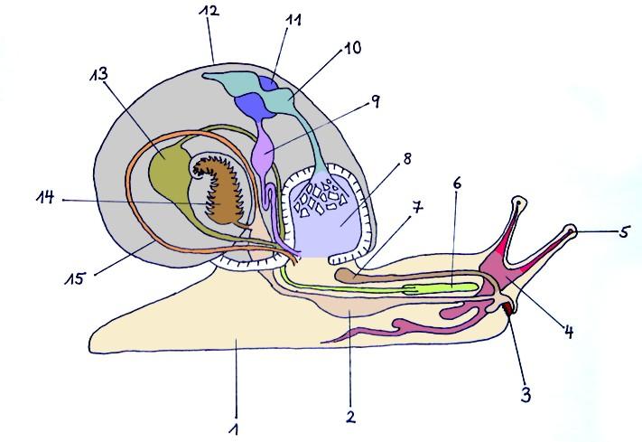ACHATSCHNECKEN - Anatomie der Schnecke