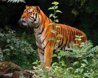 Тигр повертається до лісу