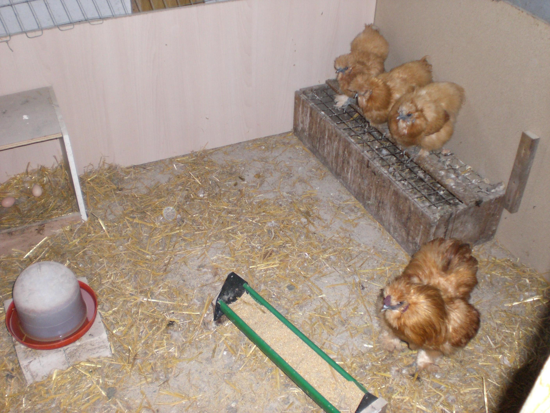 1,3 Seidenhühner gelb mit Bart