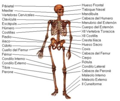 SEIS-6-serhumano - SISTEMA MUSCULO - ESQUELETICO