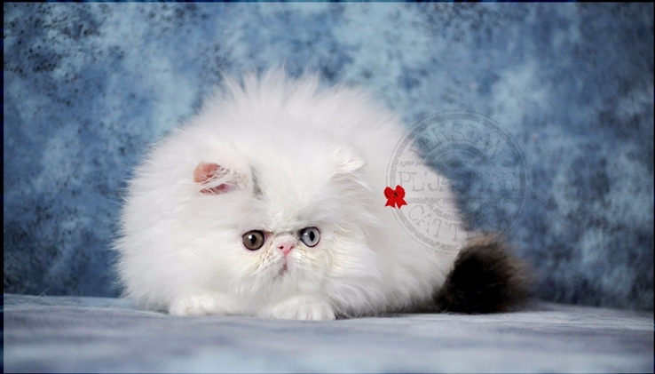 Odd eyed persian cat