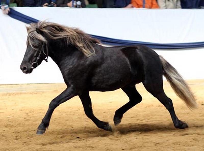 Der Deutsche Classic-Pony Hengst Jolly Jumper vom Talhof wird Gesamtsieger der Süddeutschen Körung in Alsfeld 2007.
